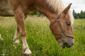 Wenn Sie nicht aufs Auge scharf stellen, wird es ein Wiesen- statt eines Pferdeportraits