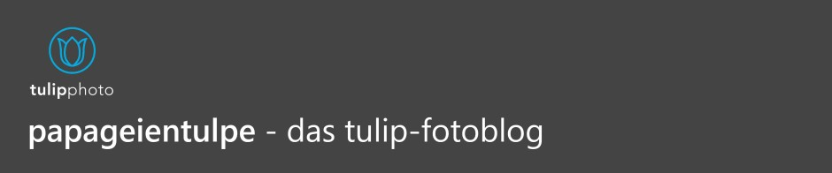 papageientulpe – das tulip-fotoblog